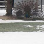 Peacocks running wild