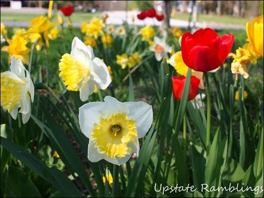 Spring Bulbs in Garden