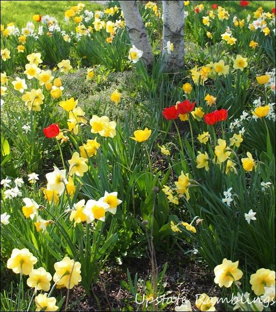 Lots of Spring Bulbs