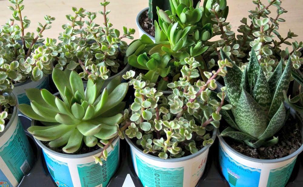 Flat of Succulent Plants
