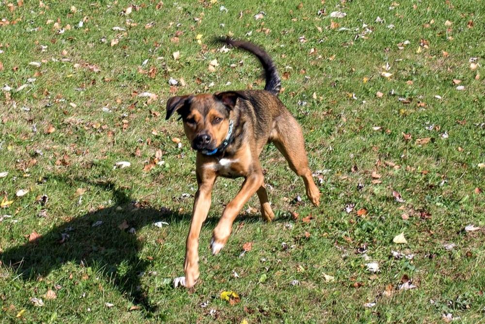 Ziggy running in the yard